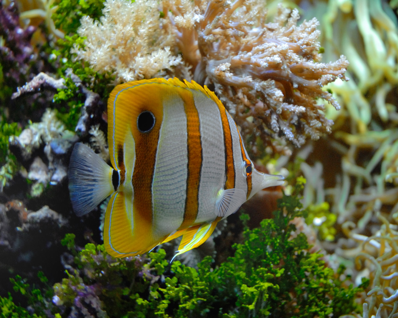 Striped butterfly fish
