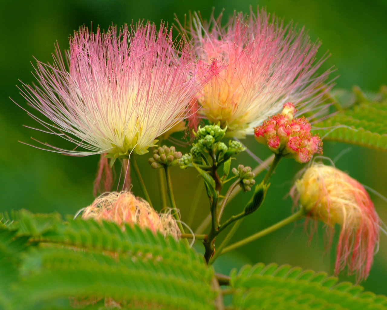 Albizia persian silk tree flower lausanne albizia persian silk tree flower mightylinksfo